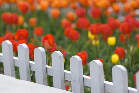 Colorful Tulips Behind White Fence photo