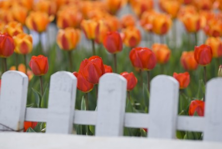 Colorful Tulips Behind White Fence Stock Photo - 7089838