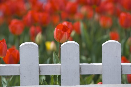Red Tulips Behind White Fence Stock Photo - 7089899