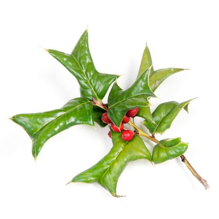 Sprig of holly many ripe red berries isolated against white  photo