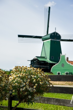 Dutch windmill in daisy field,amsterdam,Holland   photo