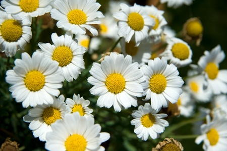 White daisies. Very short depth of field Stock Photo - 8370708