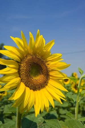 Sunflowers close up at south France photo