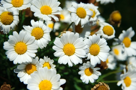 White daisies. Very short depth of field Stock Photo - 8885756