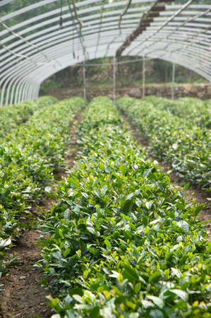 Green tea Plantation Stock Photo - 11611818