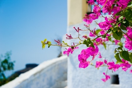 color bougainvillea:  Flowers at Santorini island,Greece Stock Photo