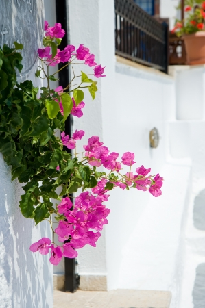 bougainvillea:  Flowers at Santorini island,Greece Stock Photo