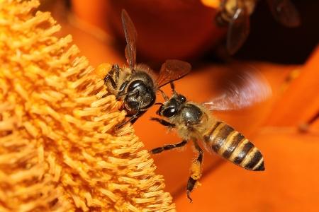 miel et abeilles: Sauvages abeilles