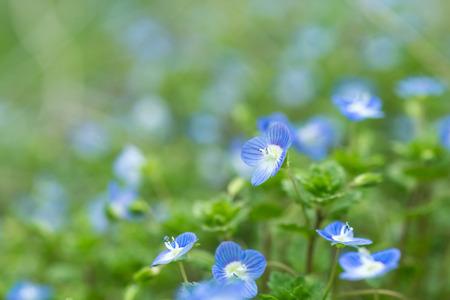 veronica flower: Wildflower Veronica Stock Photo