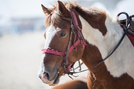 domestication: Horse Stock Photo