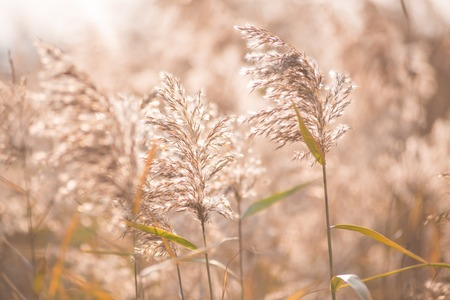 Reed flowers in the sun Stock Photo