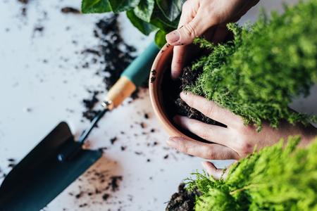 女性の手を移植の植物、新しい鍋に。