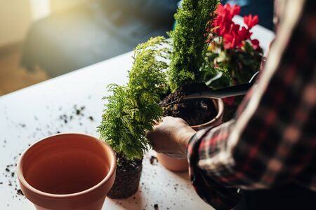 Womans hands transplanting plant a into a new pot. Stock Photo