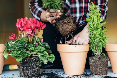 Woman's hands transplanting plant a into a new pot.
