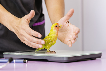 Veterinarian doctor is making a check up of a kramer parrot. Veterinary Concept.