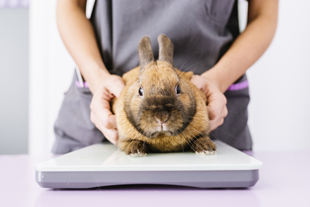 Veterinarian doctor is making a check up of a rabbit. Veterinary Concept. Stock Photo