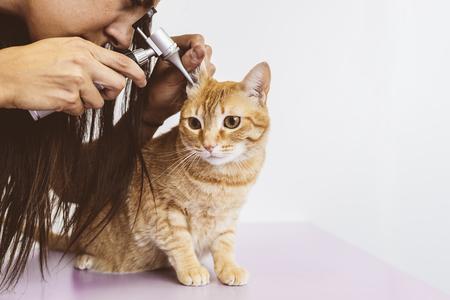 獣医の医者は、美しい猫チェックを作っています。獣医のコンセプトです。 写真素材 - 83697459
