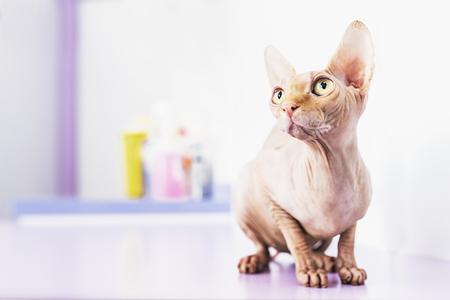 Portrait of beautiful sphynx cat. Pet Concept. Stock Photo