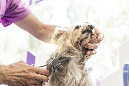 Grooming a little dog in a hair salon for dogs. Stock Photo