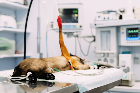 Small cat being operated at a veterinary clinic. Veterinary Concept.