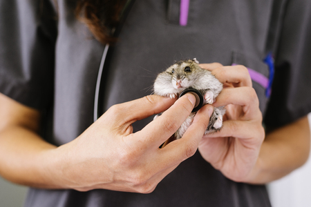 Veterinarian doctor is making a check up of a little hamster. Veterinary Concept.