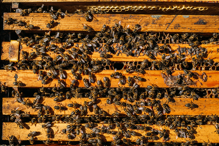 Close-up of bees on honeycomb. Beekeeping concept.