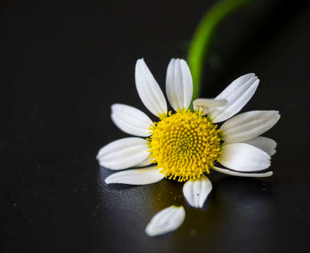 : A daisy who has lost one of his leaves on a black background 版權商用圖片