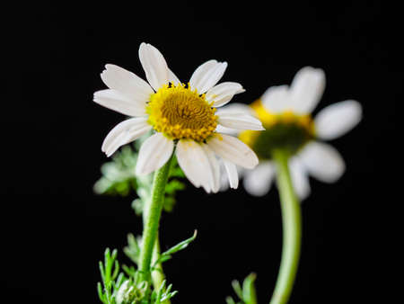 a daisy and her reflection with black background