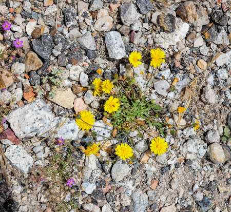 Yellow flowers among the stones of the road