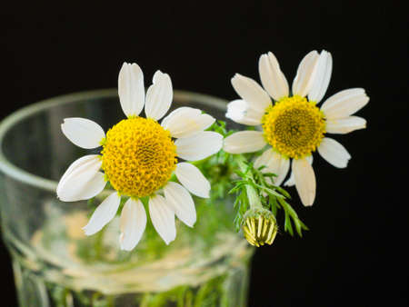 Two daisies in a glass of water 版權商用圖片