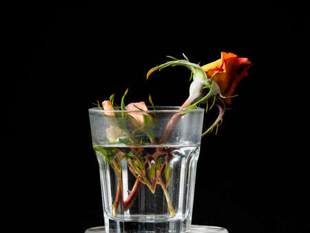 Three roses in a small glass with water