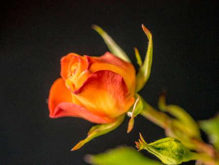 Orange rose cocoon on dark background Reklamní fotografie