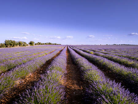 Multiple rows of lavenders on the plantation