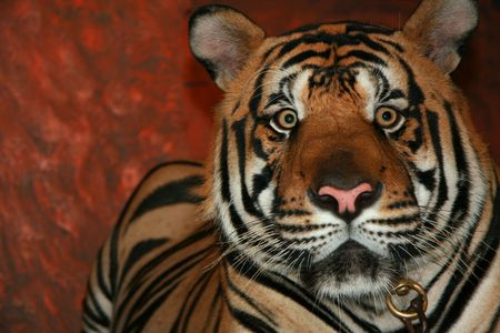 Eye Contact with a Tiger photo