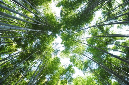Many bamboo trees looking and shooting from below photo