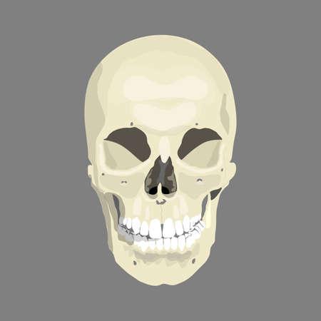 sapiens: Human skull, illustration,