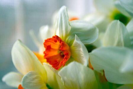egoist: White - orange flowers, narcissuses Stock Photo