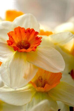 narcissist: White - orange flowers, narcissuses Stock Photo