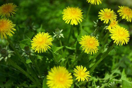 flue season: Diente de le�n, la primavera