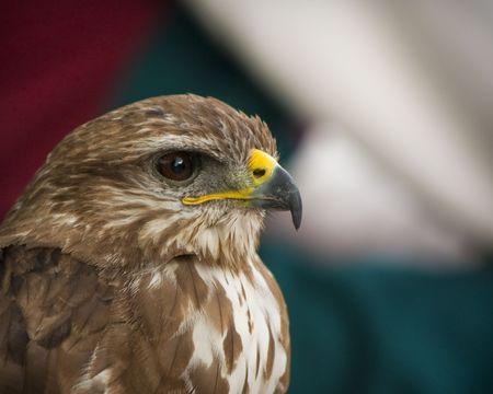 lanner: Lanner Falcon Portrait
