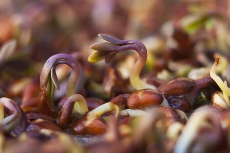 mustard plant: cress sprouts Stock Photo