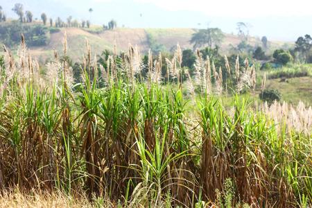 Sugarcane Flowers