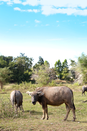 Asia Buffalo Group In Countryside Field Of Thailand