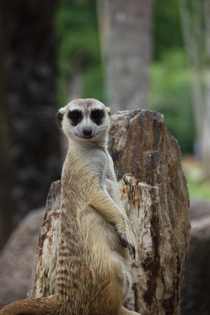 The meerkat or suricate (Suricata suricatta) is a small carnivoran belonging to the mongoose family (Herpestidae).