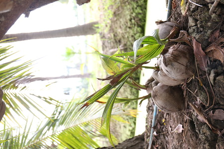 Coconut seedlings being prepared for propagation and planting to grow into a coconut tree.