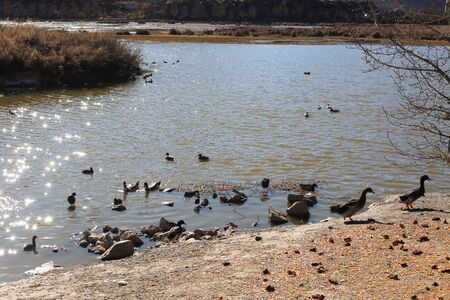 Group of brown ducks at the lake 스톡 콘텐츠