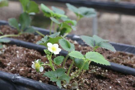 Field strawberry production. Growing Strawberry Plants