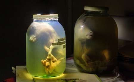 Calf embryo in glass jar with formalin. Veterinary preparation