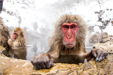 japnanese snow monkey shooting in winter