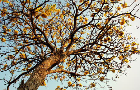 ber: The tree of Yellow flower at my workplace are called Ta Ber Boo Ya